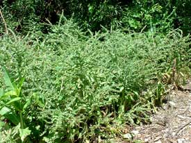 Patch of noxious weeds